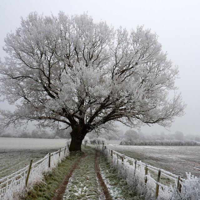 """""""Frosty Oak Tree"""" stock image"""
