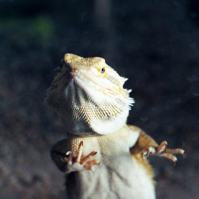 """Bearded Dragon"" stock image"