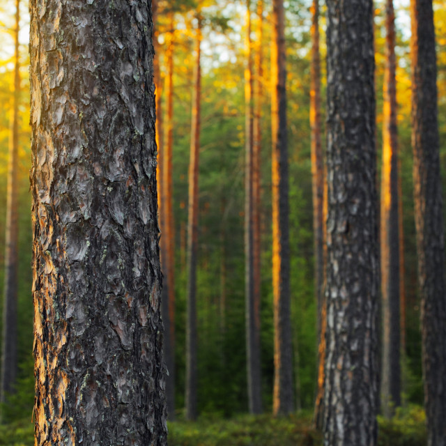 """Pine Forest"" stock image"