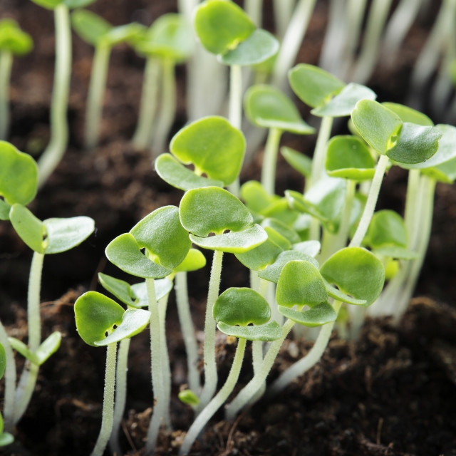 """Basil seedlings"" stock image"