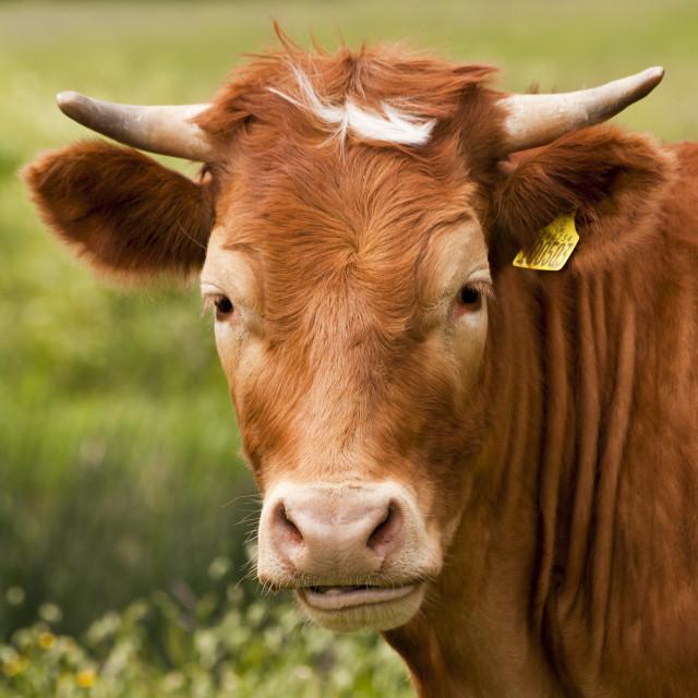 """Bull"" stock image"