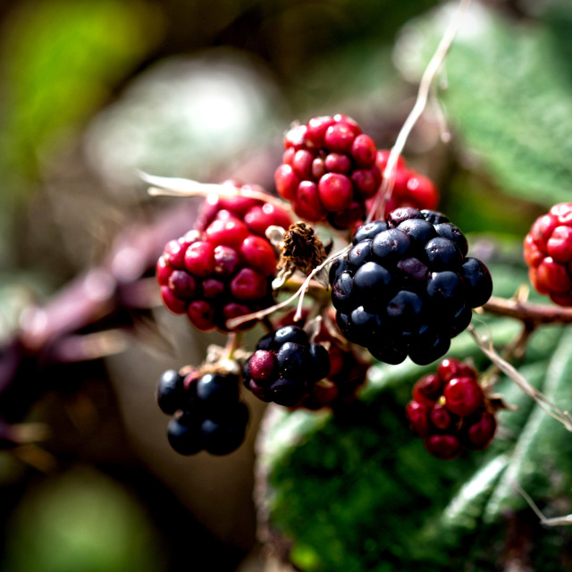 """Wild Blackberry"" stock image"