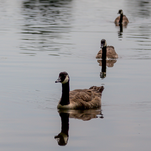"""geese"" stock image"