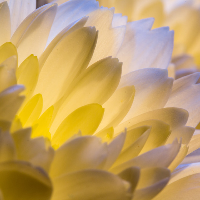 """flower petals"" stock image"