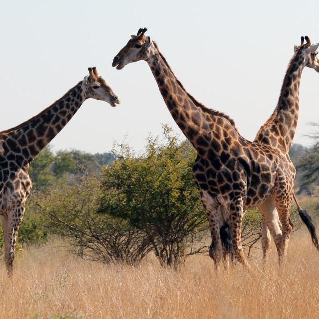 """No one here but us 3 Giraffe"" stock image"