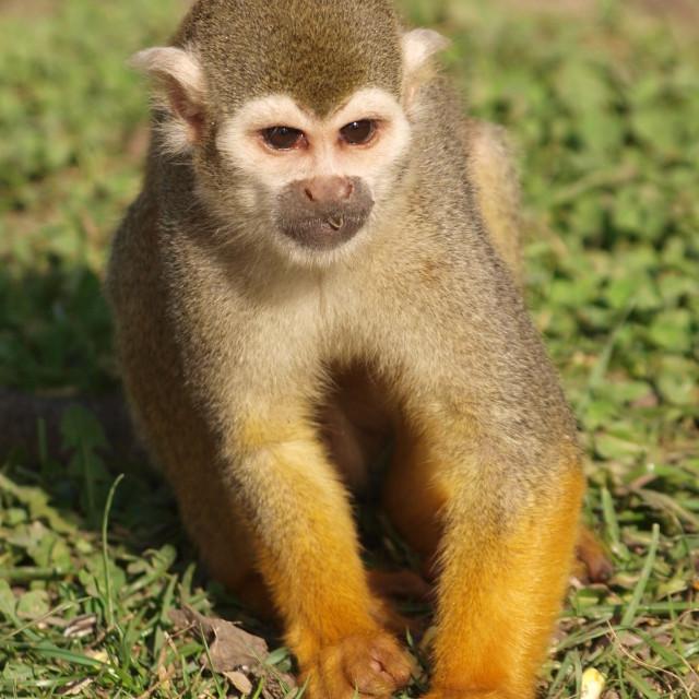 """The Squirrel Monkey"" stock image"