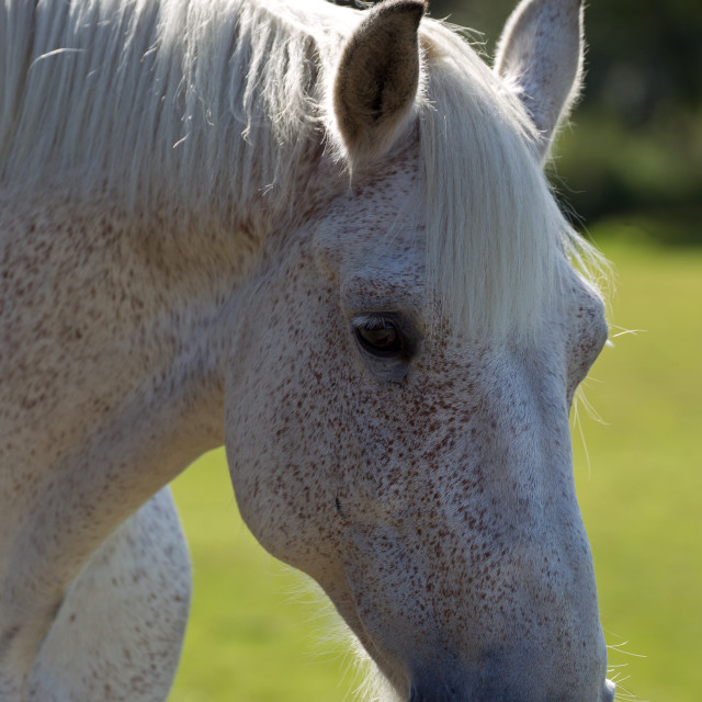"""White Horse Portrait"" stock image"