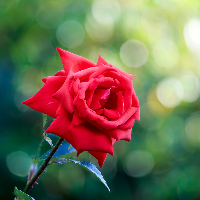 """Single Red Rose"" stock image"