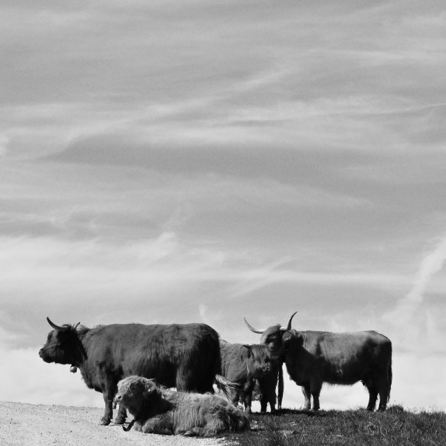 """Bulls"" stock image"