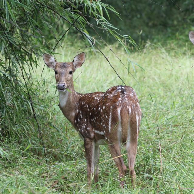 """Deer - Tiger call"" stock image"