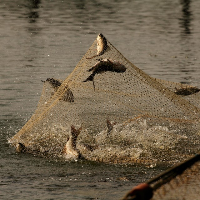 """Fish caught in the net"" stock image"