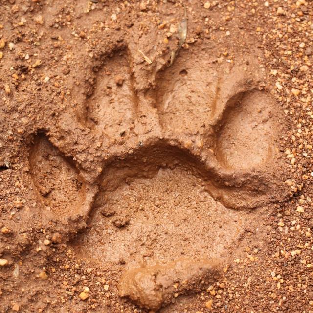 """Tiger Pug Mark"" stock image"