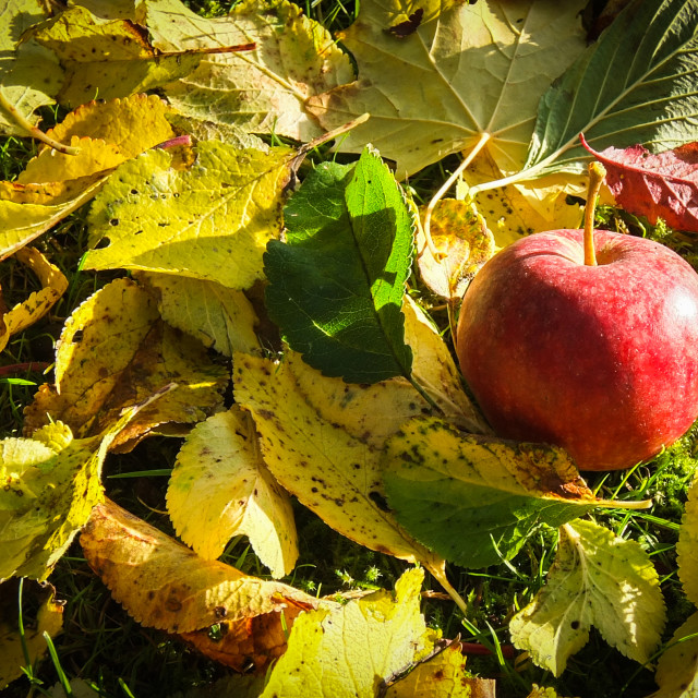 """Autumn Fruit"" stock image"