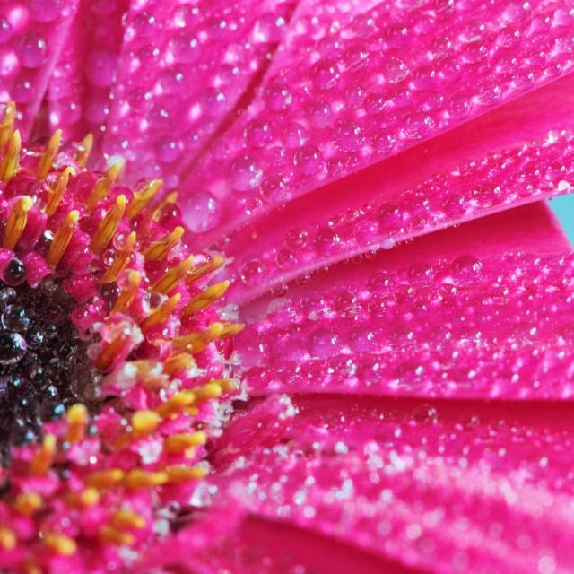 """pink macro flower"" stock image"