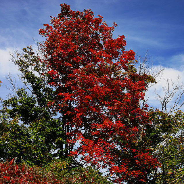 """""""Maple Red Beauty"""" stock image"""