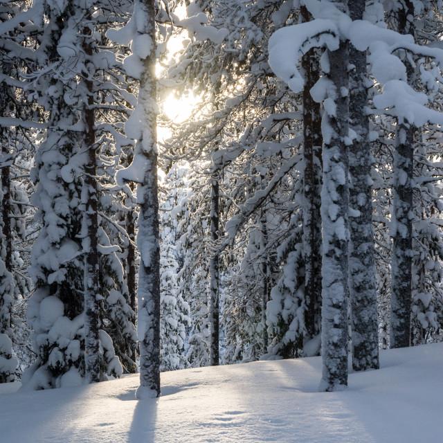 """""""Arctic pine trees"""" stock image"""