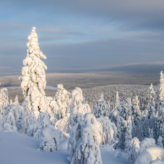 """Pine forest in Finnish Lapland"" stock image"