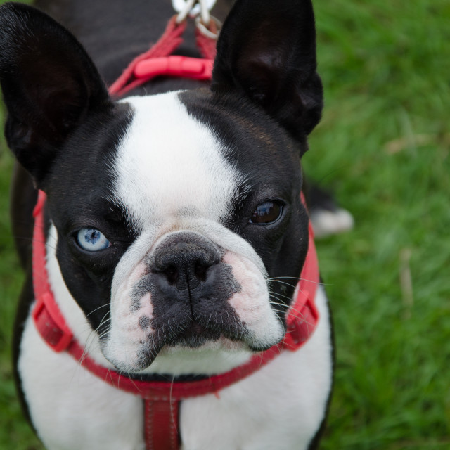 """French Bulldog"" stock image"
