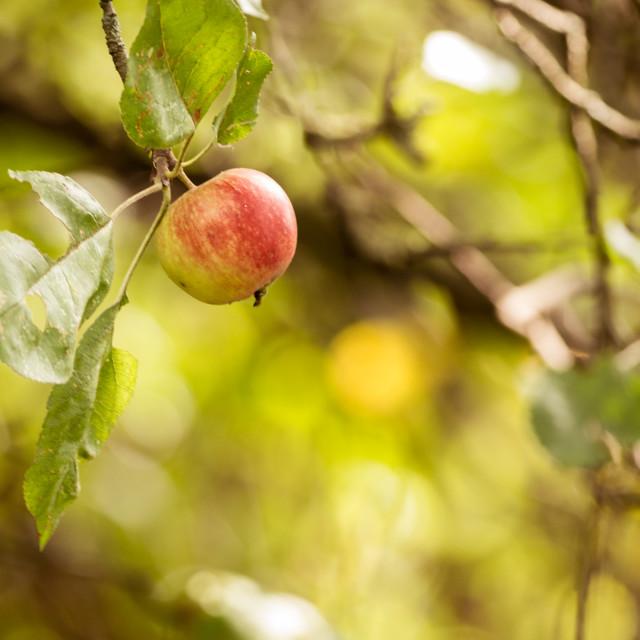 """""""Autumn Apple"""" stock image"""
