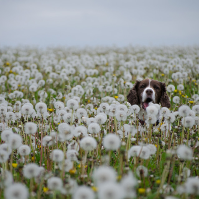 """Dog and dandelions"" stock image"