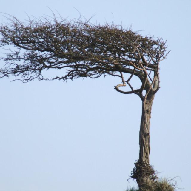 """wind sculptured tree"" stock image"