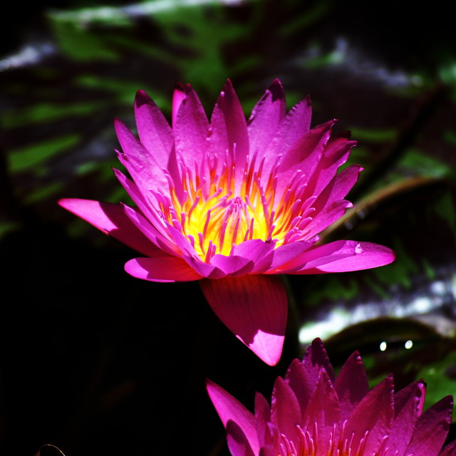 """Water Lily @ Botanical Gardens"" stock image"