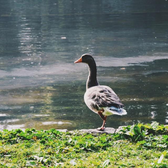 """""""Quack"""" stock image"""