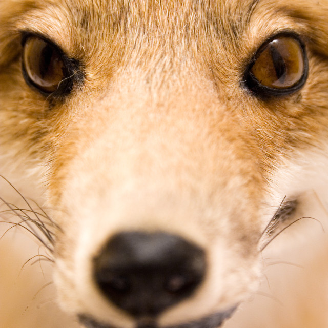 """Stuffed Fox Close-Up"" stock image"
