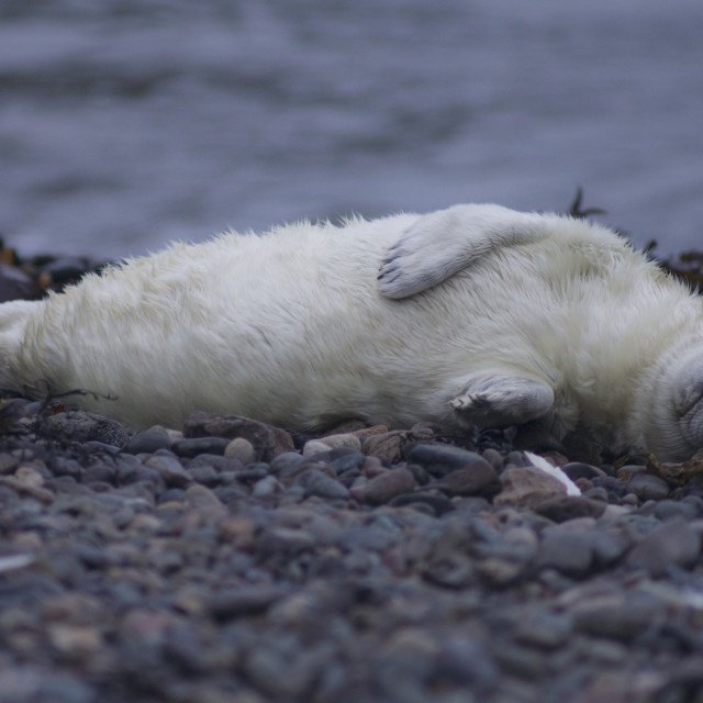 """Sleepy seal pup"" stock image"