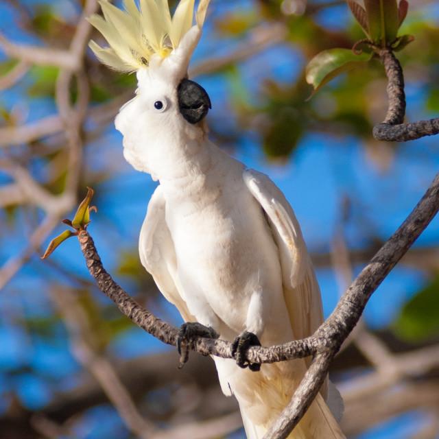 """Sulphur crested cockatoo"" stock image"