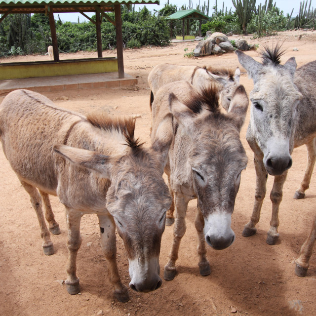 """Aruba Donkeys at the Sanctuary"" stock image"