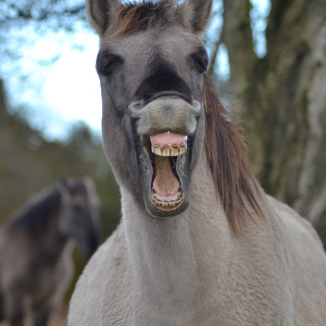 """Laughing Horse"" stock image"