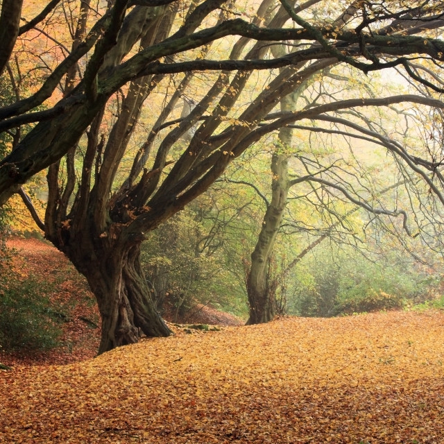 """""""A Carpet of Golden Brown Autumn Leaves in Foggy Epping Forest, England"""" stock image"""
