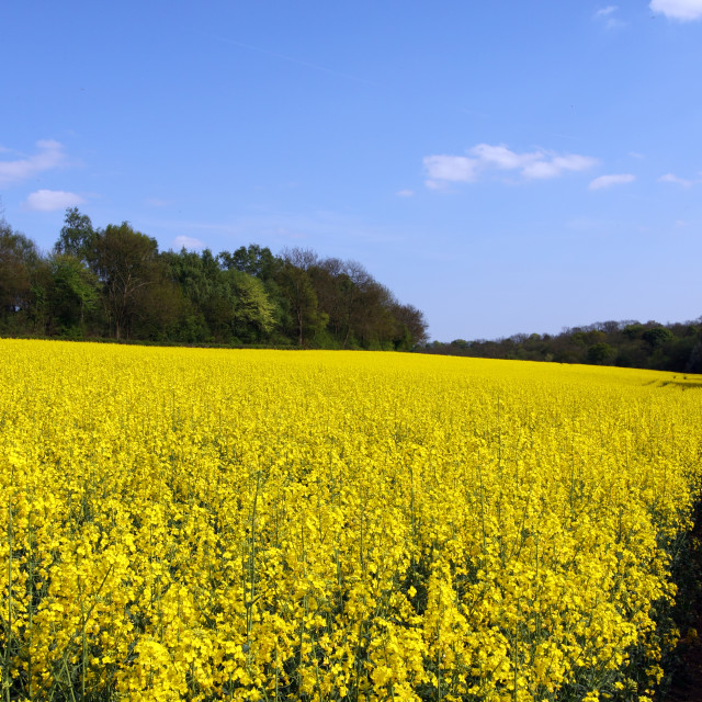 """Yellow Canola Fields in England"" stock image"