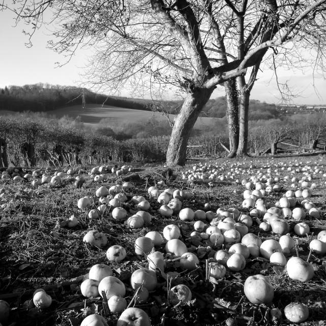 """""""Fallen Apples"""" stock image"""