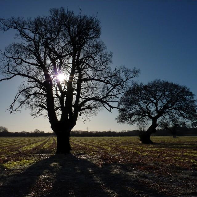 """""""Oak Tree at Sunrise"""" stock image"""