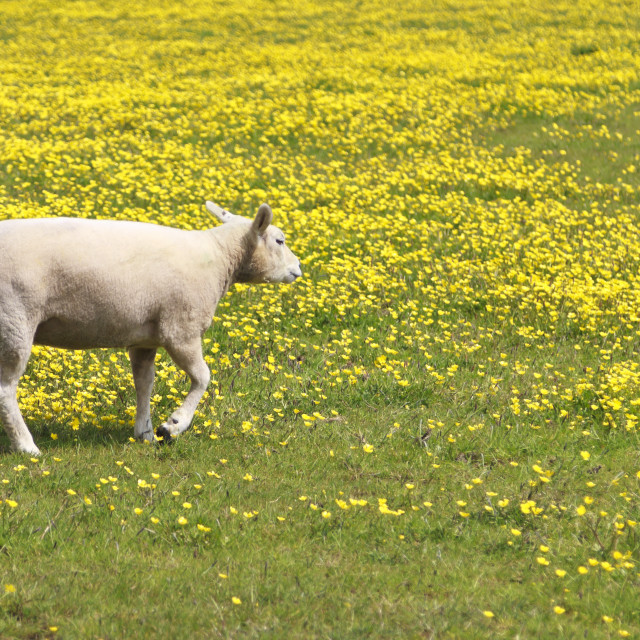 """Young lamb in a meadow"" stock image"