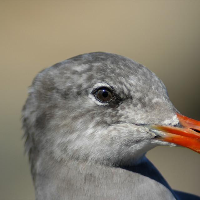 """""""Heermann's Gull, California"""" stock image"""
