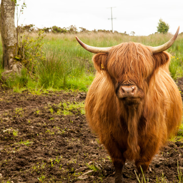 """Sandford Highland Cow"" stock image"