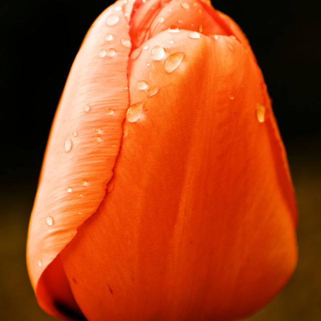 """""""Orange Tulip"""" stock image"""