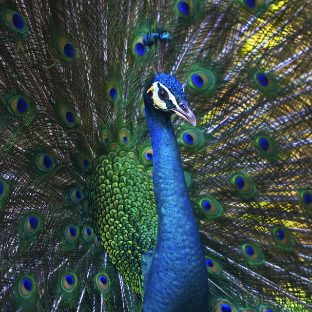 """Male Peacock"" stock image"
