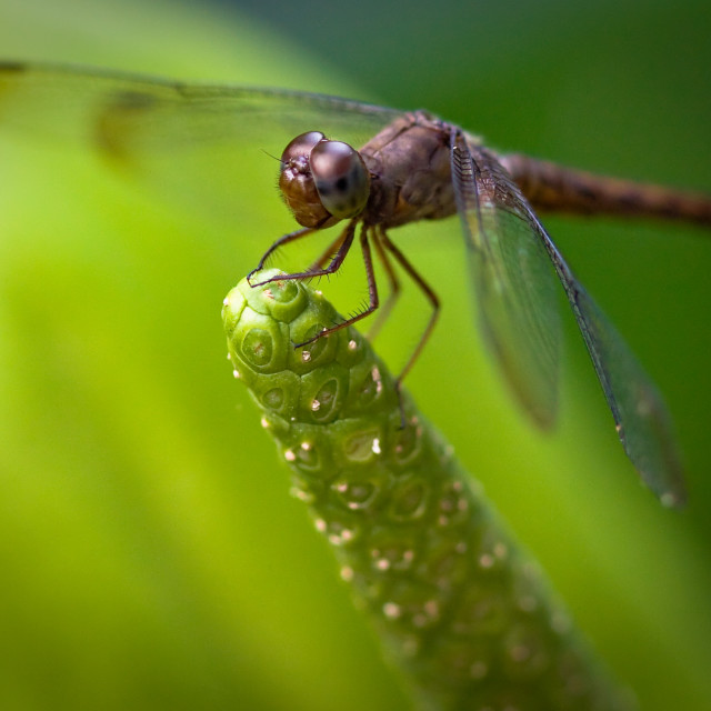 """Macro of a Dragonfly - focus stacked image"" stock image"