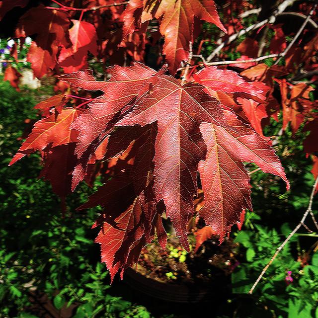 """Bonzai Maple Beauty"" stock image"
