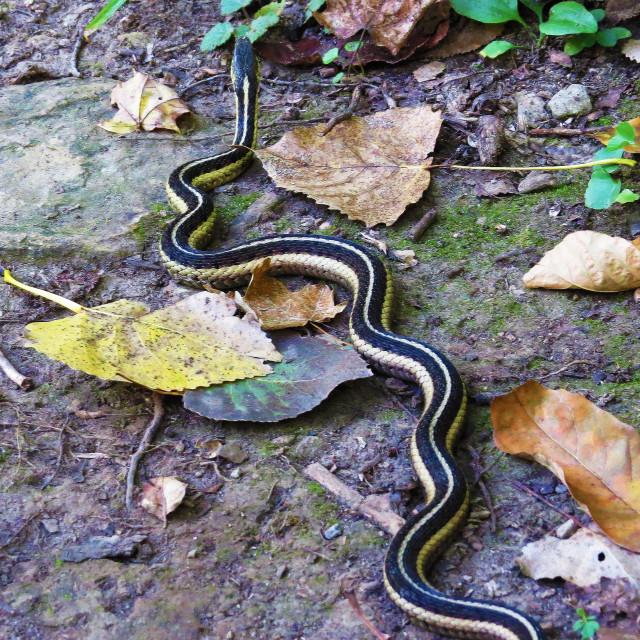 """""""Garter Snake"""" stock image"""