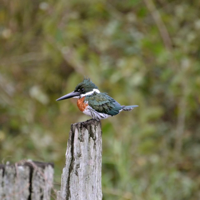 """Kingfisher of the Jungle (side profile!)"" stock image"