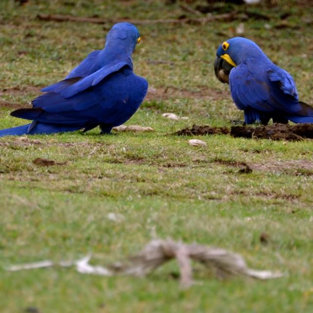 """""""Macaw Couple"""" stock image"""
