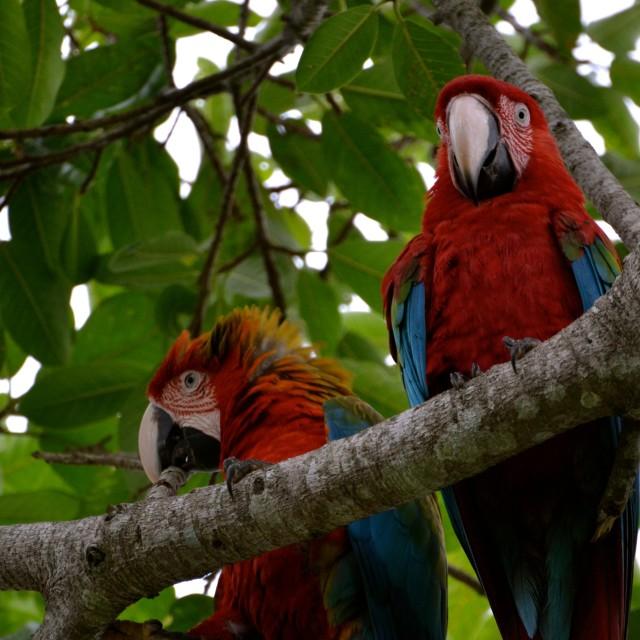 """Hello Macaws"" stock image"