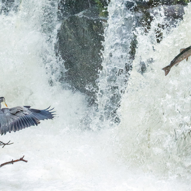 """Leaping Salmon and Landing Heron"" stock image"