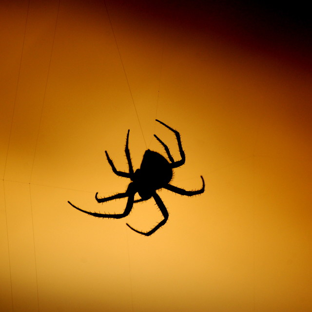 """Golden Hour Spider"" stock image"