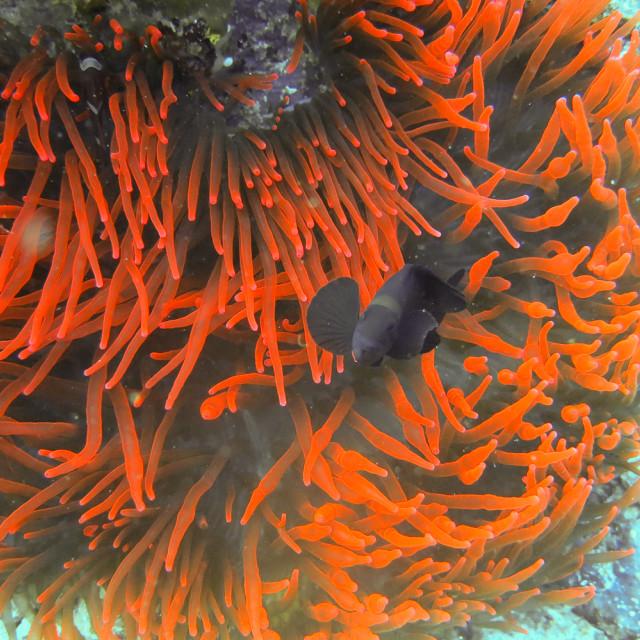 """Black Clownfish"" stock image"